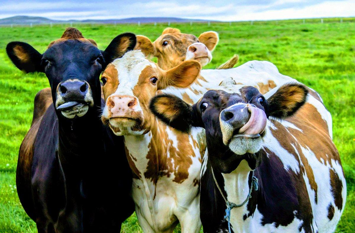 картинки животных крс больных